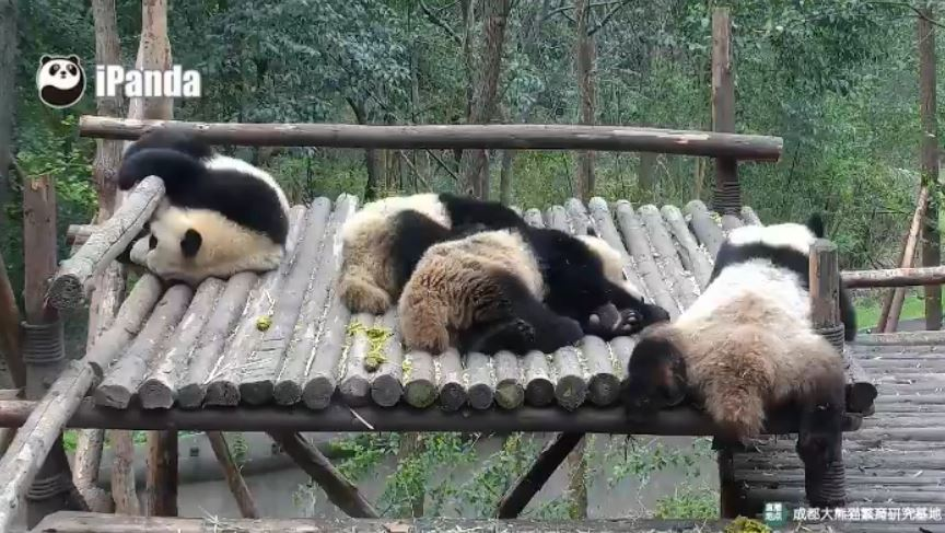 Giant Pandas: Summerday