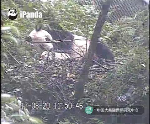 Giant Pandas im Herbst