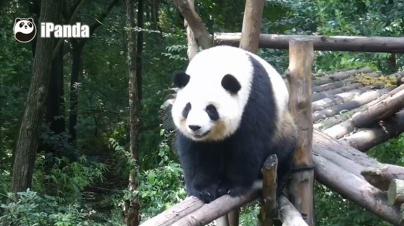 Giant Pandas: Januar 2019