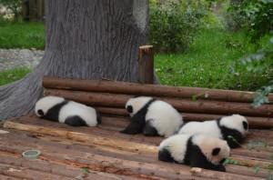 Panda-Babys3