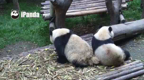 25. Dezember auf Chengdu Panda Base