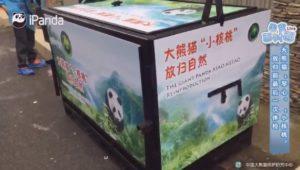 Panda Vorbereitung zur Auswilderung