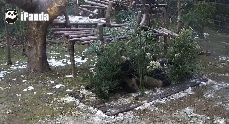 Giant Pandas: Neujahrstag