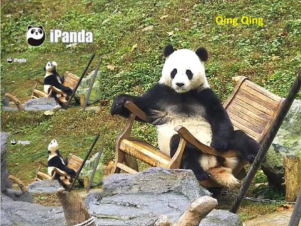 Giant Panda: Qing Qing